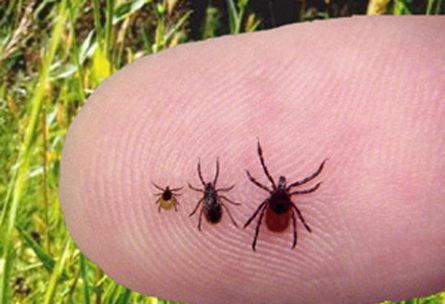 Ticks on finger